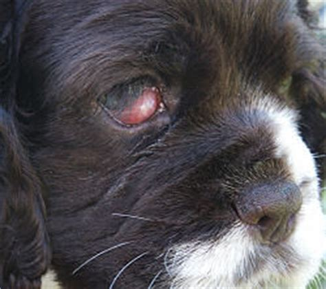 do dogs get pink eye frequently asked questions zim family cocker spaniels