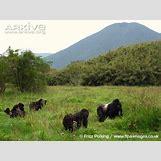 Mountain Gorilla Habitat   650 x 488 jpeg 88kB