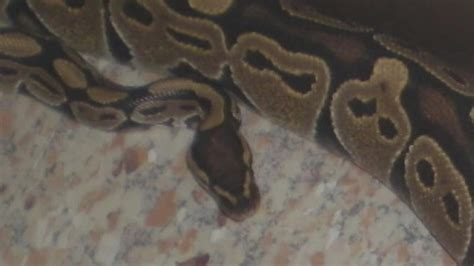 snake in bathroom must see videos woman finds snake in bathroom abc11 com