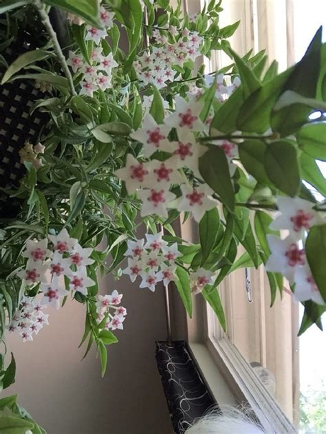 hoya wax plant bedroom plant relaxing indoor plant air