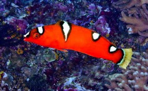 Ikan Hias Air Laut Keling Perak L aquarium memilih ikan hias air laut
