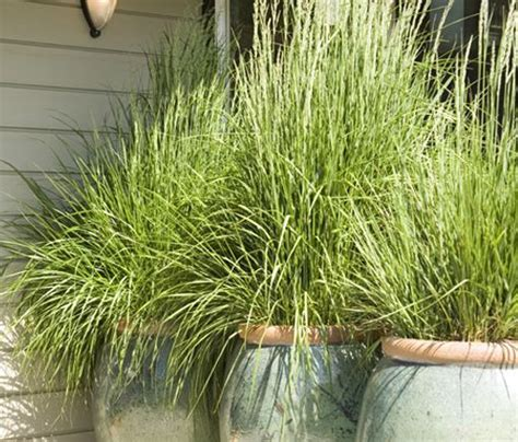 lemongrass mosquito repellent exterior pinterest mosquitoes plants and lemon