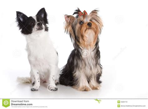 yorkie and chihuahua terrier and chihuahua stock photos image 5325113