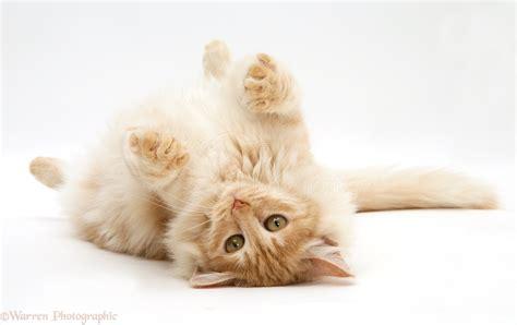 Red silver Turkish Angora cat lying on back photo WP41518