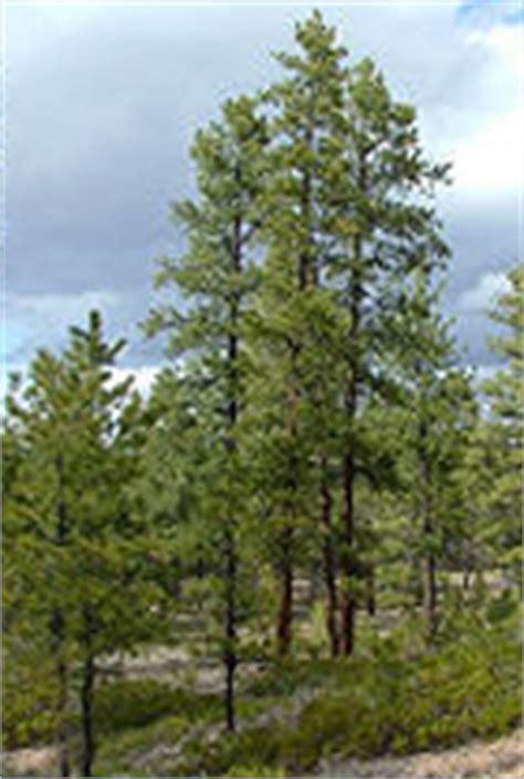 ponderosa pine bryce canyon national park  national park service