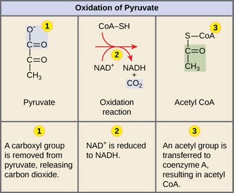 pyruvate oxidation diagram 7 3 oxidation of pyruvate and the citric acid cycle