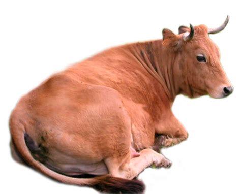 ganbar gambar ngetrend 2015 gambar sapi lengkap gambar foto