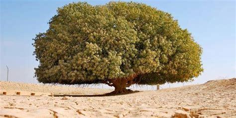 Firasat Muhammad Abu Al Futuh Shabari perjalanan hidup ku pokok tempat nabi berteduh