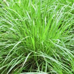 17 best ideas about lemon grass plant on pinterest