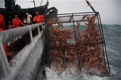 what type of crabs caught in deasdliest catch commercial crab fishing commercial crab fishing