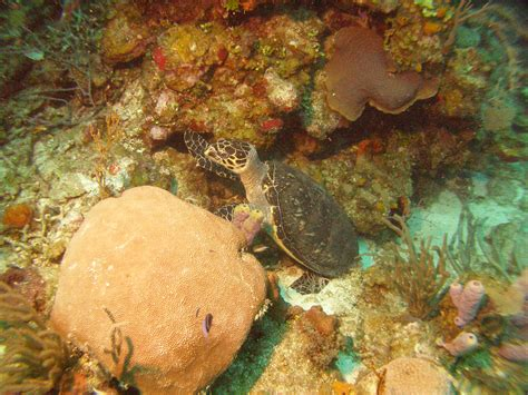 Pyramid Turtle Common saving the world s coral one reef at a time