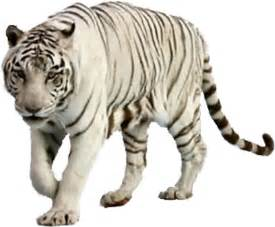15 white tiger psd images psd white tiger psd white