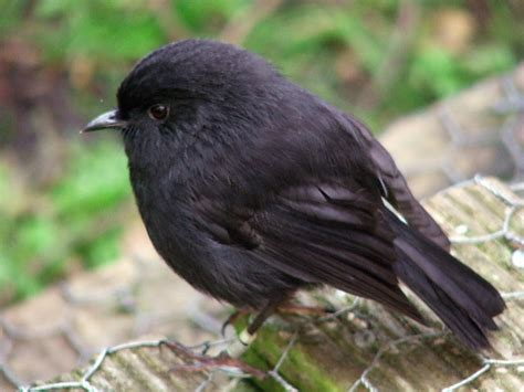 file black robin on rangatira island jpg wikipedia