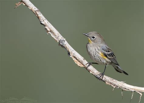 migrating yellow rumped warblers mia mcpherson s on the