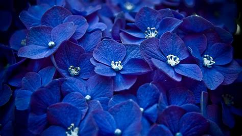 wallpaper blue hydrangea hydrangea blue flower hd flowers 4k wallpapers images