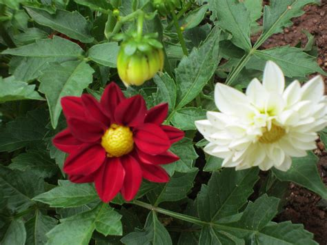 blooming plants dahlia a tuberous flowering plant smallhomegardens2012