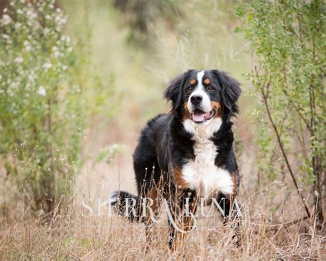 sacramento puppies a day in the woods with shasta the bernese mountain puppy 187 photography