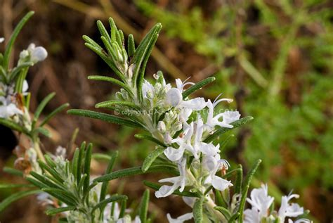 file herb garden spring blooms huntington jpg rosemary facts and health benefits
