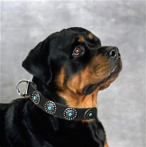 harness for rottweiler rottweiler colalrs collar for rottweilers leather collars padded