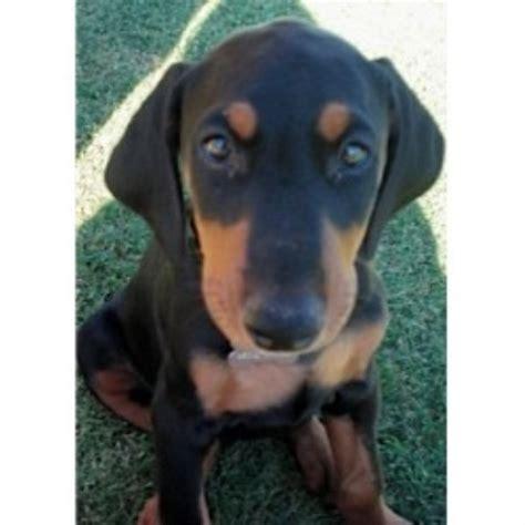 doberman puppies az doberman pinscher breeders in ontario freedoglistings breeds picture