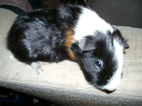 black brown and white guinea pigs black and white images