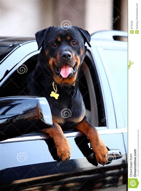 rottweiler in car rottweiler stock photo image of canine rotty open 4770278