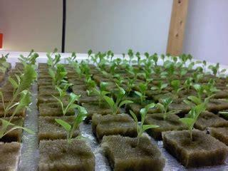 Sekam Bakar Surabaya menanam sayuran hidroponik untuk ibu rumah tangga www