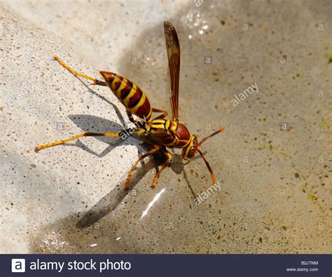 wasps in bathroom wasps in bathroom a striped paper wasp drinks water from a