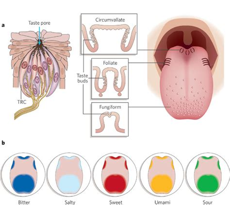 Tongue Taste Sections by Human Digestive System Explained With Diagram Tutorvista
