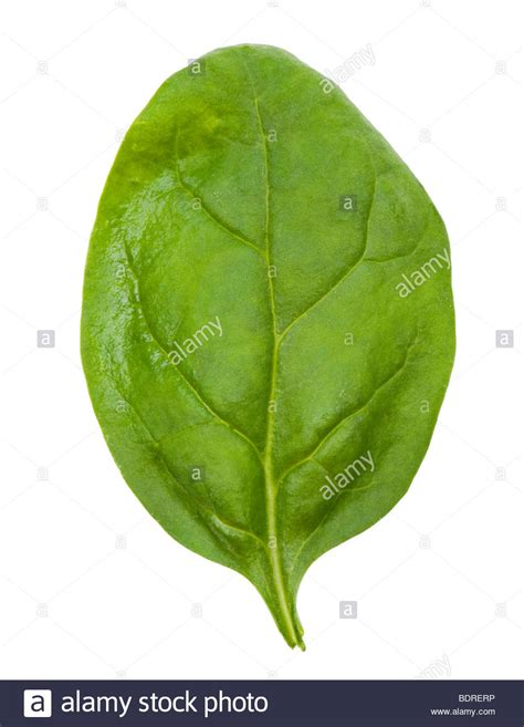 Search Single On Single Leaves Images