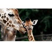 Giraffe Baby Animals