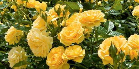 caring  roses  beginners rose growing guide garden