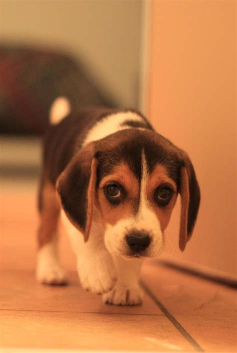 beagle puppy names most names many