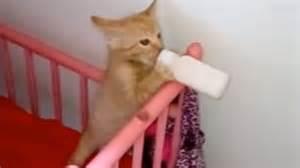 kitten froths milk skulls bottle in a crib like a