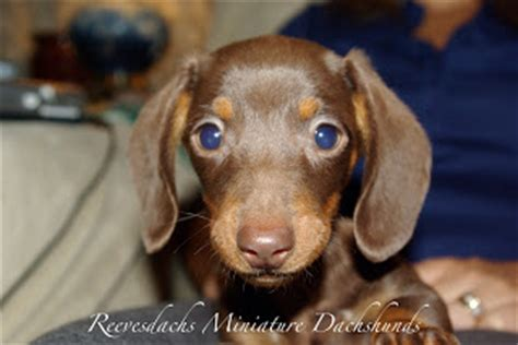 mini dachshund puppies for sale ny the gallery for gt miniature dachshund chocolate