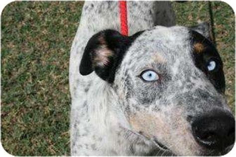great dane puppies san antonio great dane catahoula mix breeds picture