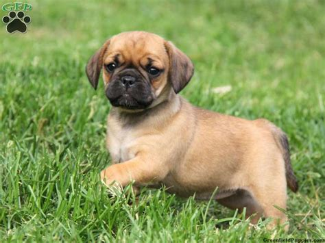 pictures of puggle puppies puggle puppies all puppies pictures and wallpapers so