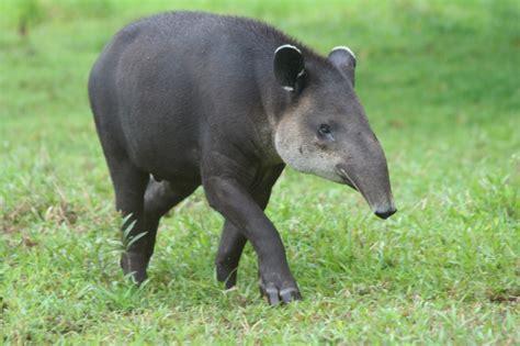 animal wildlife tapir wildlife animal facts images