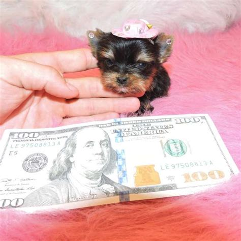 tiny teacup yorkies for sale in nc tiny teacup yorkies for sale in carolina breeds picture
