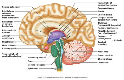 midsagittal section of the brain diagram powerpoint to accompany