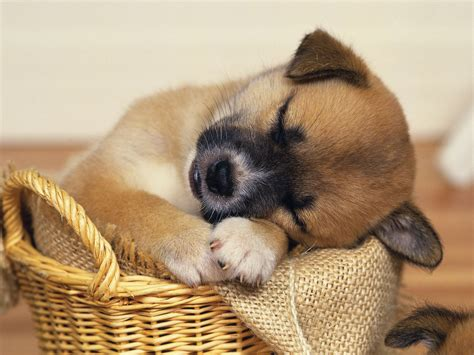 sleeping puppy top 10 cutest sleeping puppies