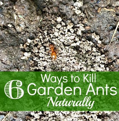 how to get rid of ants in the garden how to it all