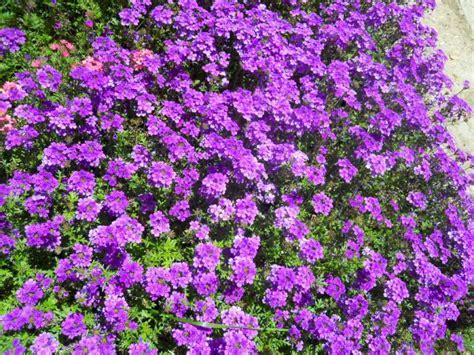 pianta con fiori viola a grappolo la finestra di stefania alberi cespugli e gruppi di piante