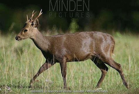 Figureminiaturpajanganbonekapatung Leich Rusa Tailed Doe axis calamianensis il cervo delle calamian cervidi e antilopi il