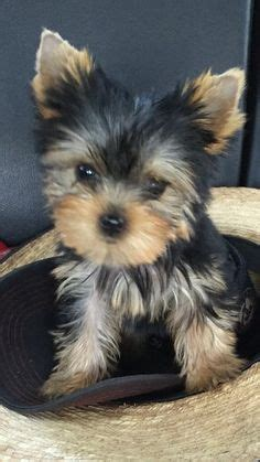 yorkie black and gold 1000 ideas about yorkie puppies on yorkie terriers and teacup