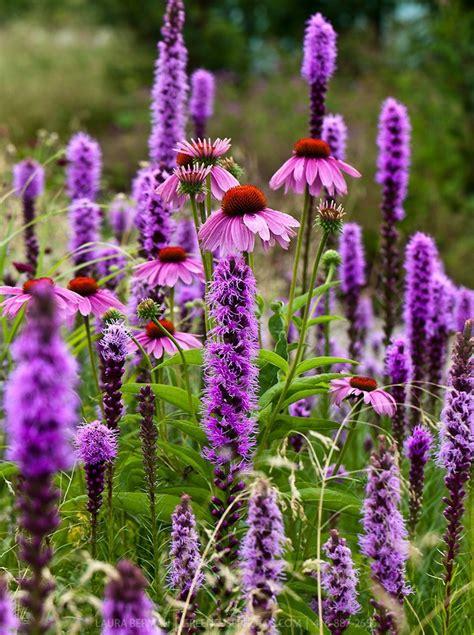 shrub with purple cone shaped flowers purple cone flower echinacia and blazing liatris