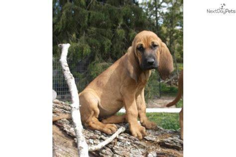 bloodhound puppies near me mae bloodhound puppy for sale near southeast missouri missouri d2607d68 7871