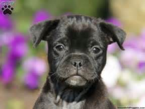 pitbull and pug mix pug pitbull mix black pug pomeranian mix a pug animals pomeranian