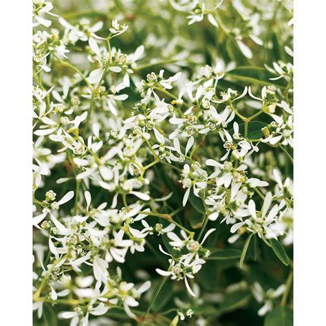 Kitchen Flooring Home Depot Proven Winners Diamond Frost Euphorbia Live Plant White