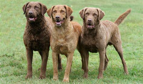 chesapeake bay retriever puppy chesapeake bay retriever breed information